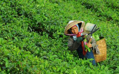 La qualité d'un thé se construit dès sa récolte