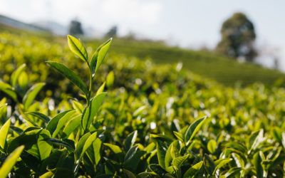 Les vertus du thé vert : quelques explications
